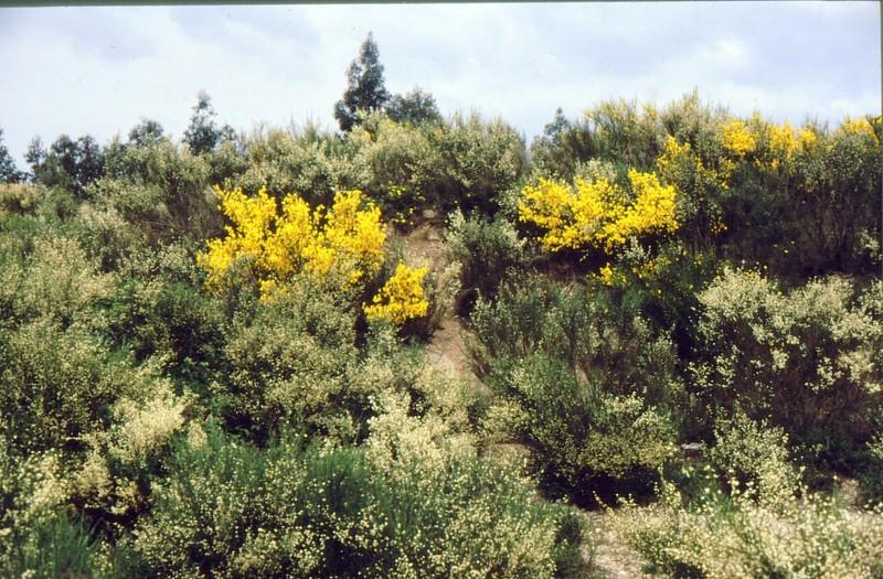 1987 Portugal Cytisus multiflorus et scoparius