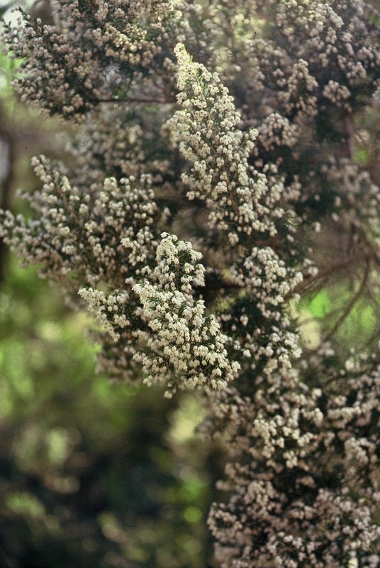 29-Erica arborea