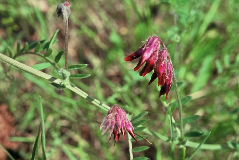31-Vicia benghalensis