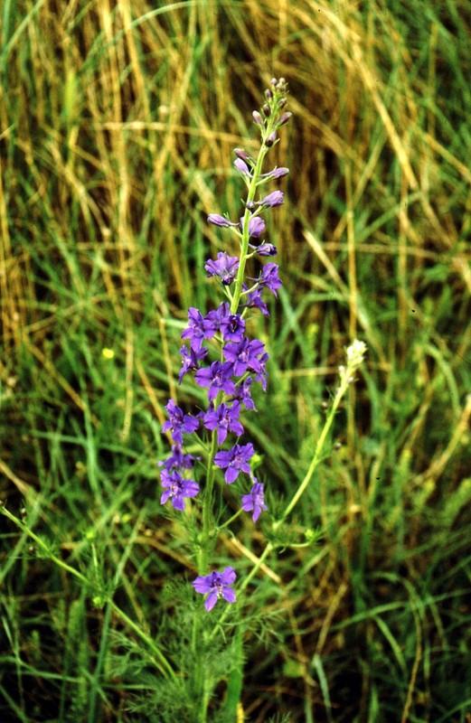 1985 Majorque (Baléares) Delphinium orientalis
