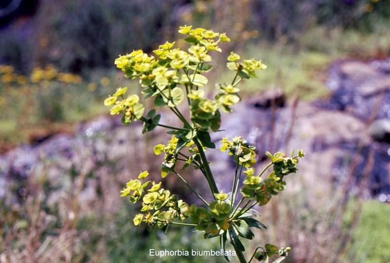 32- Euphorbia biumbellata