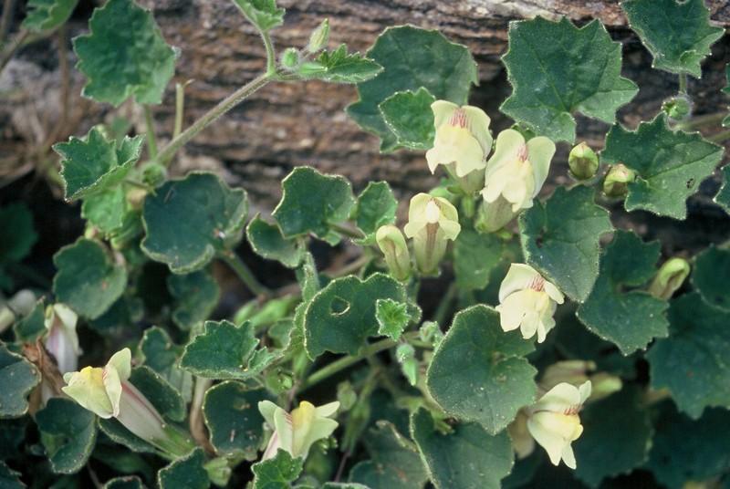 36-Asarina procumbens