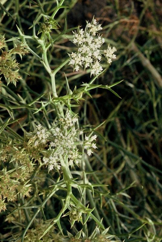 38-Echinophora spinosa