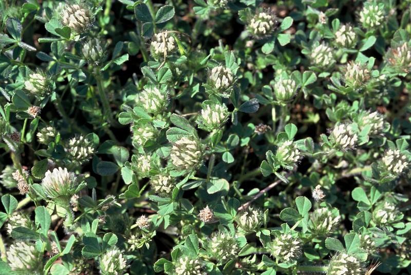 39-Trifolium cherleri