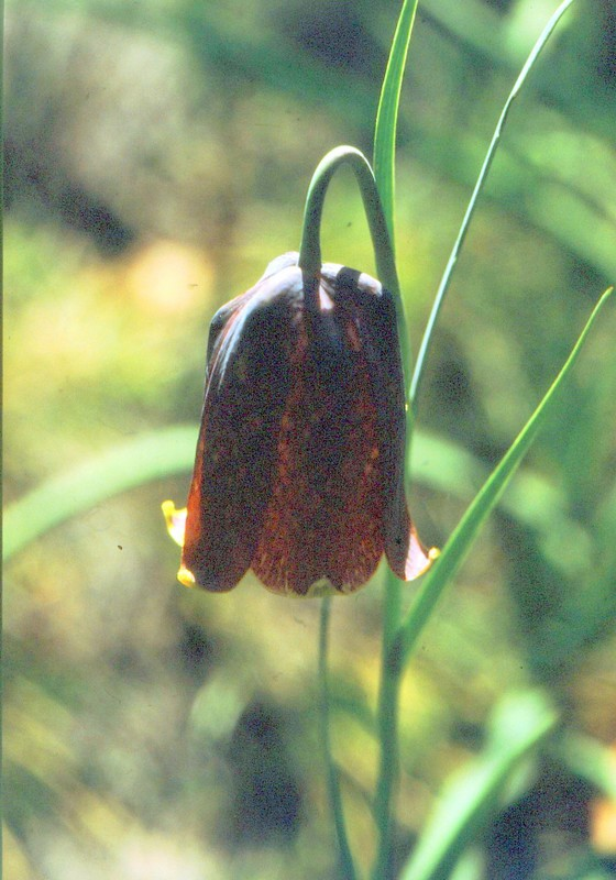 1987 Portugal Fritillaria lusitanica