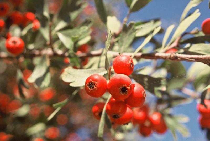 49-Crataegus azarolus en fruits