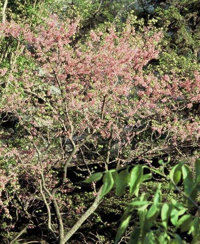 1985 Ardèche Cercis siliquastrum