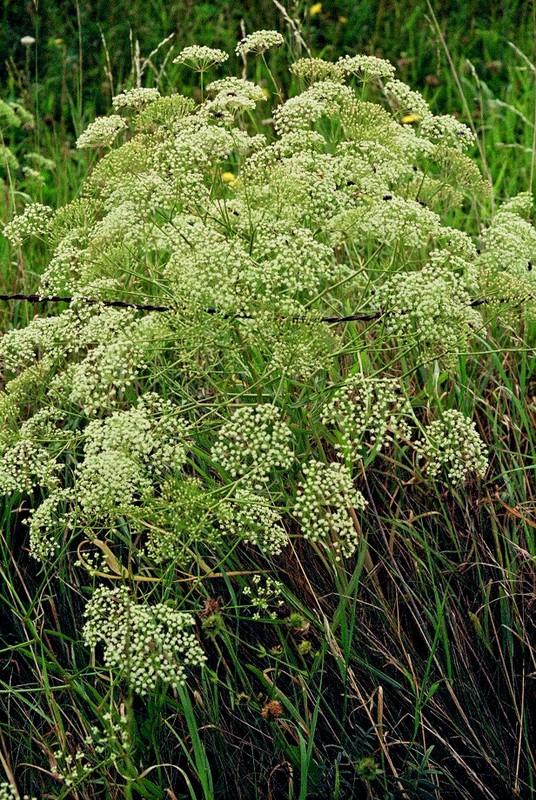 1985 Ardèche Falcaria vulgaris