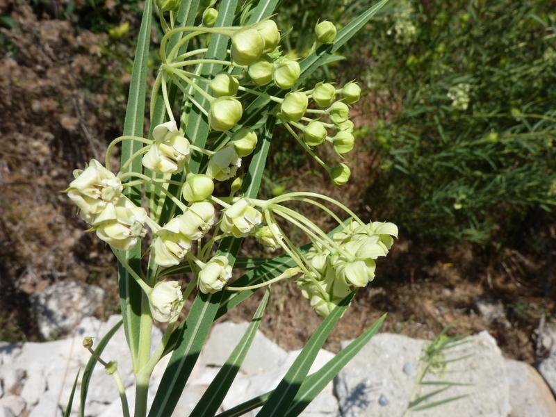 Vallée de la Moussela Gomphocarpus fruticosus 22-07-2010 14-39-25
