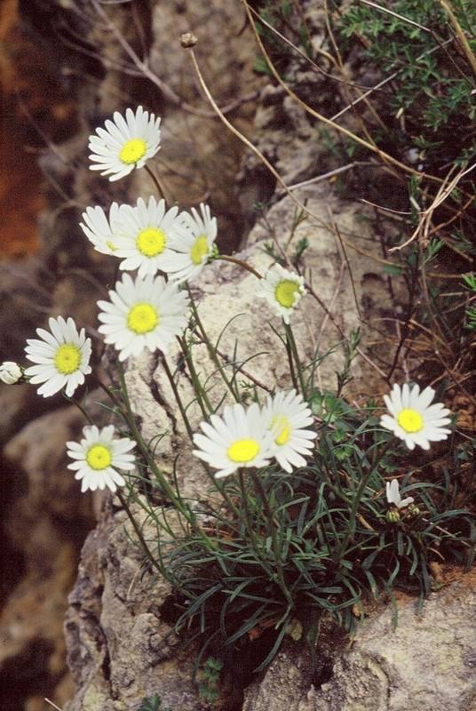 1987 GR77 Hérault Leucanthemum graminifolium
