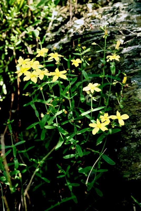 1987 GR77 Hérault Hypericum linearifolium