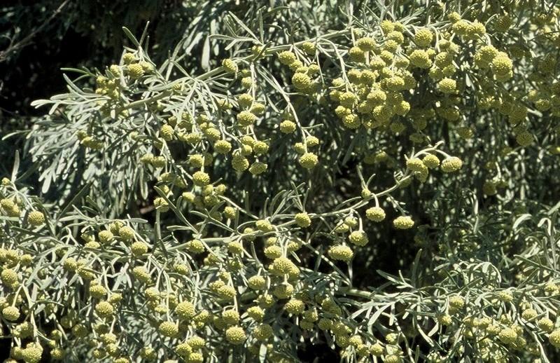 01-Artemisia arborescens
