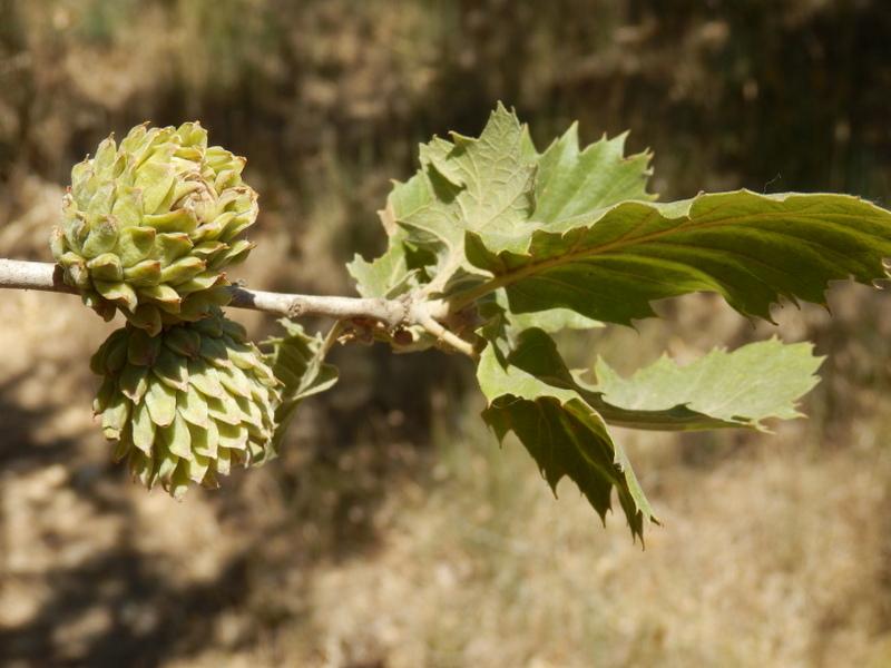 01-Quercus macrolepis