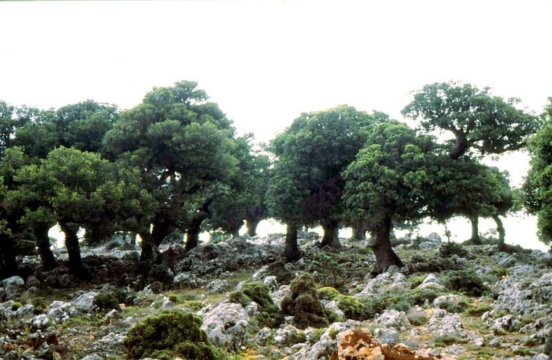 02-Kataro- Quercus macrolepis