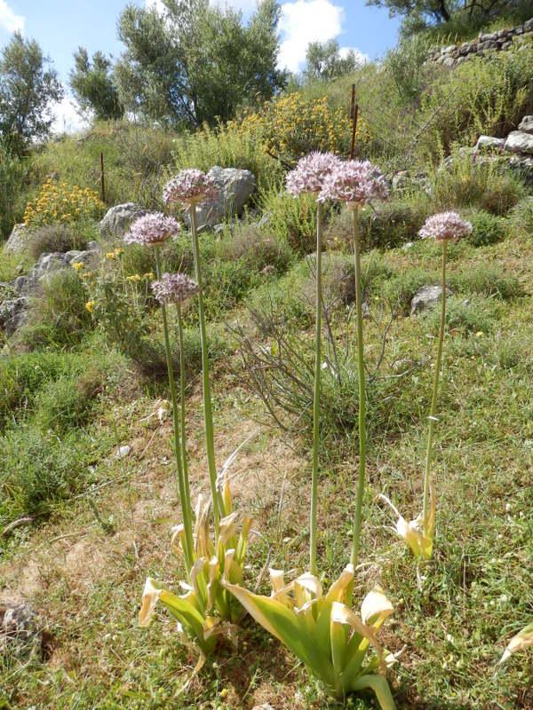 03-Allium nigrum 06-05-2014 08-08-52