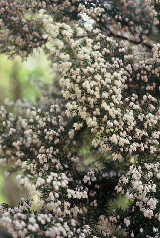 06-Erica arborea