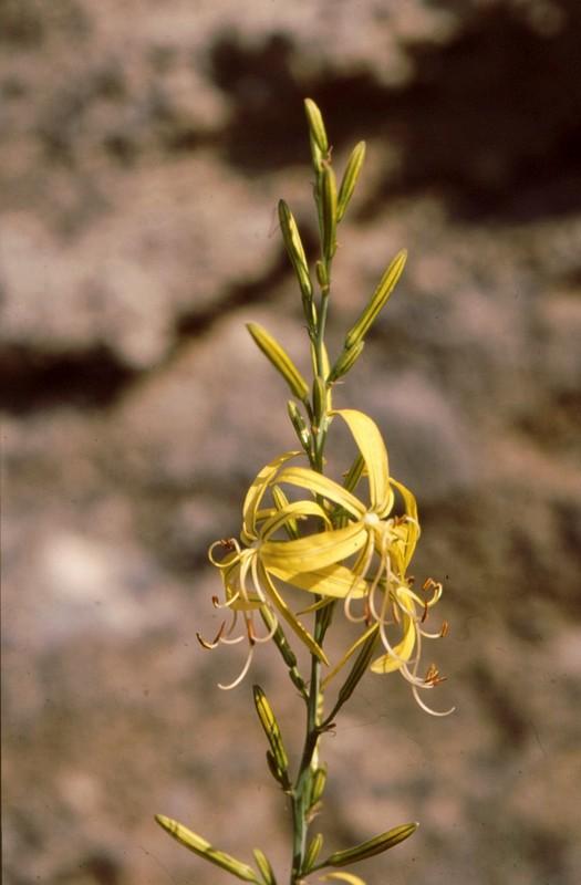 07-Asphodelina liburnica