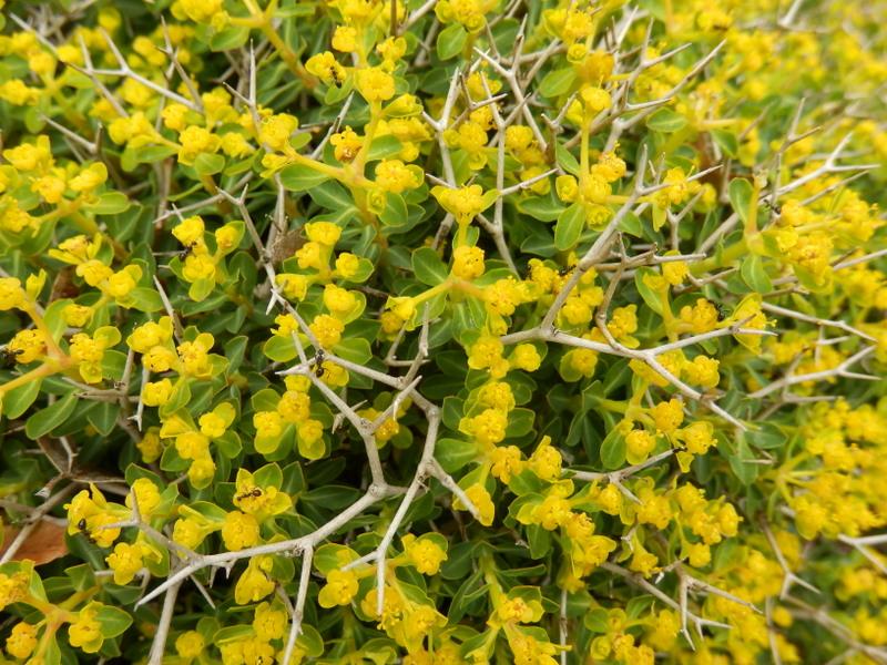 07-Euphorbia acanthothamnos