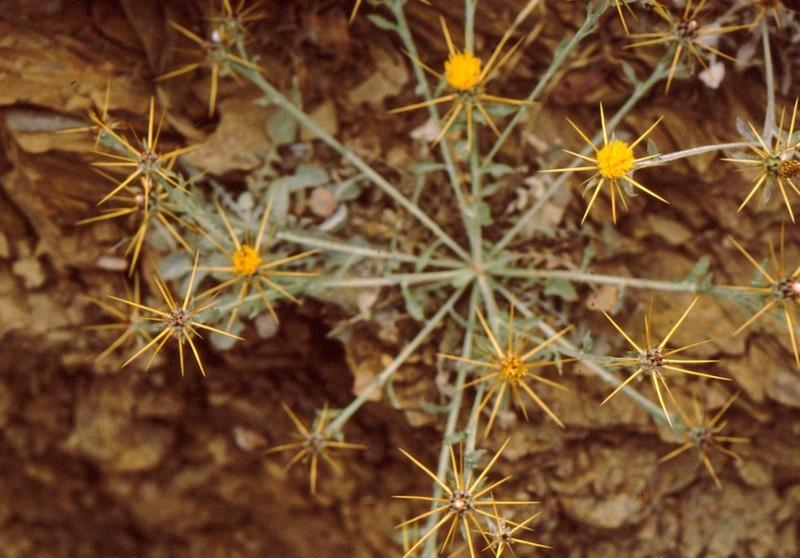 08- Centaurea idaea