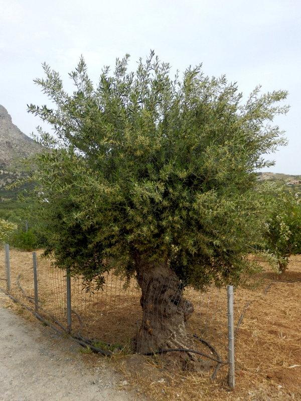 12-Keratokambos - olivier en fleurs