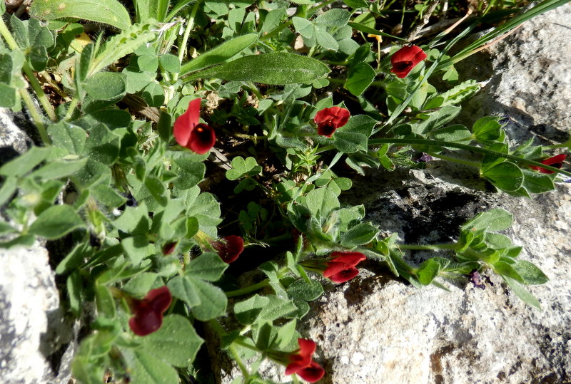 12-Lotus tetragonolobus