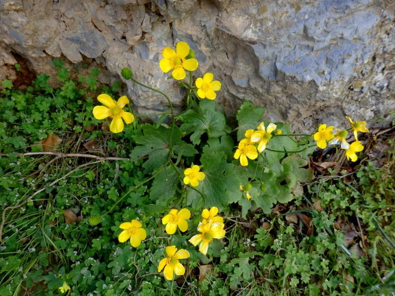 13-Ranunculus creticus