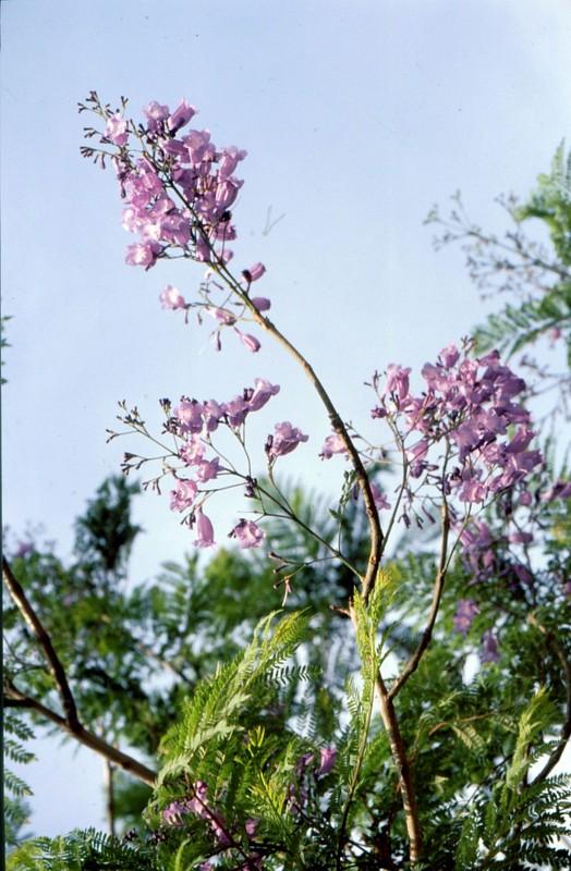 15- Jacaranda mimosifolia à Knossos