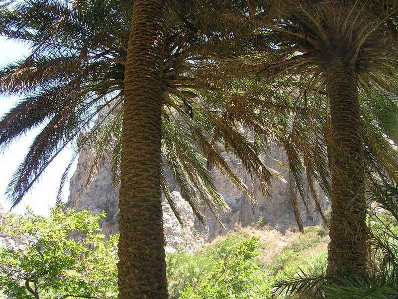 18-canyon de Preveli avec Phoenix theophrastii