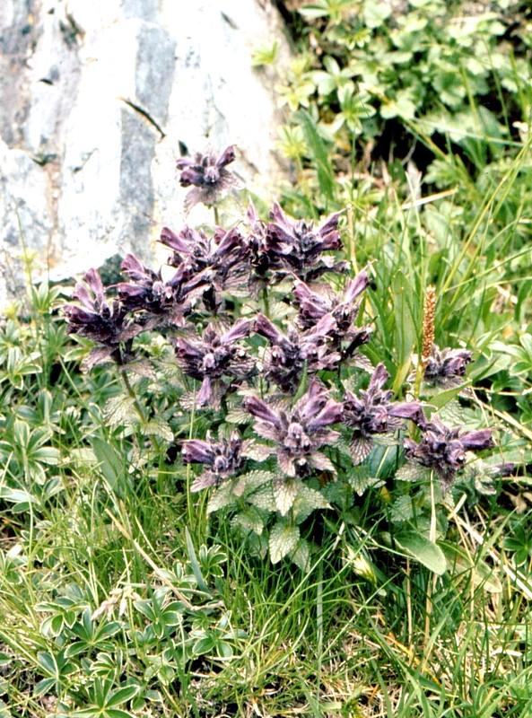 1977 224 Bartsia alpina