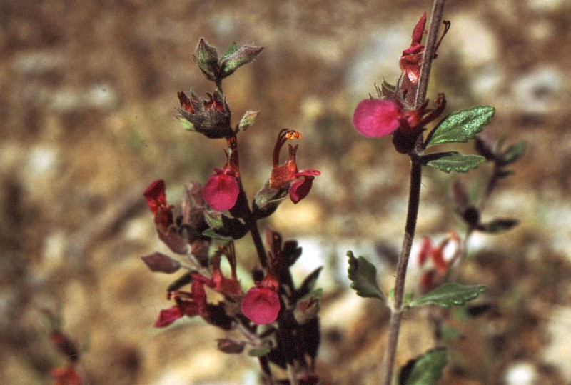 21b- Teucrium divaricatum