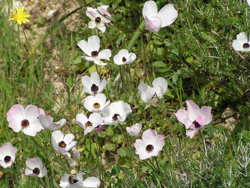 22-Ranunculus asiaticus