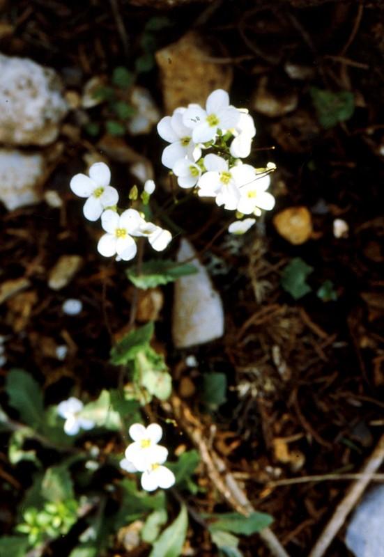 23-Arabis alpina subsp caucasica