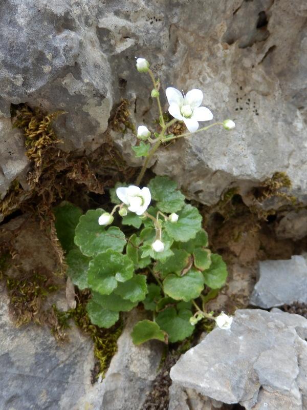 25-Saxifraga chrysosplenifolia