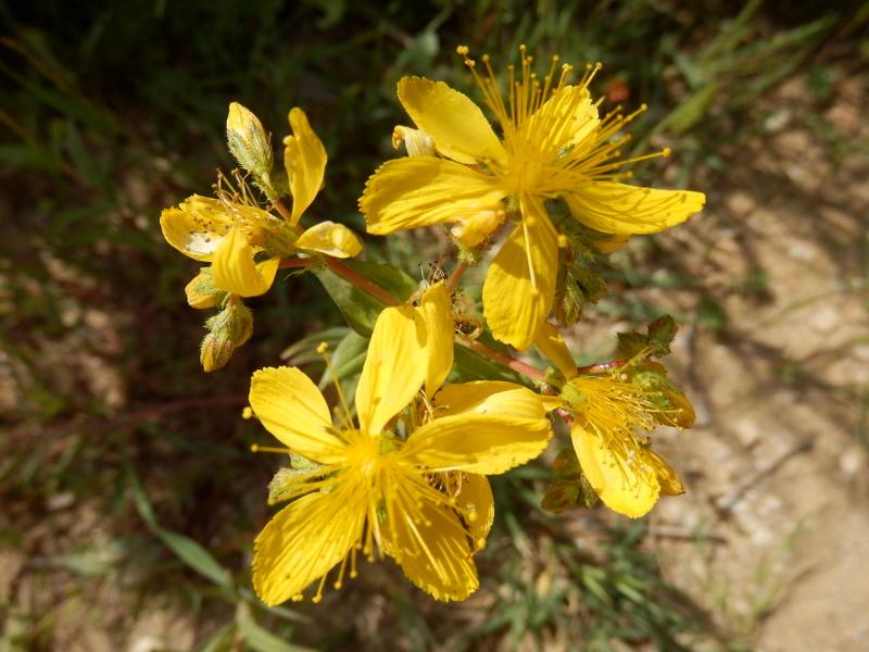 26-Hypericum trichocaulon