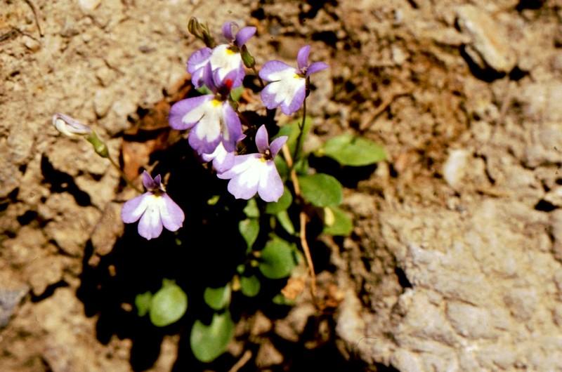 31-Laurentia gasparinii Solenopsis minuta maintenant