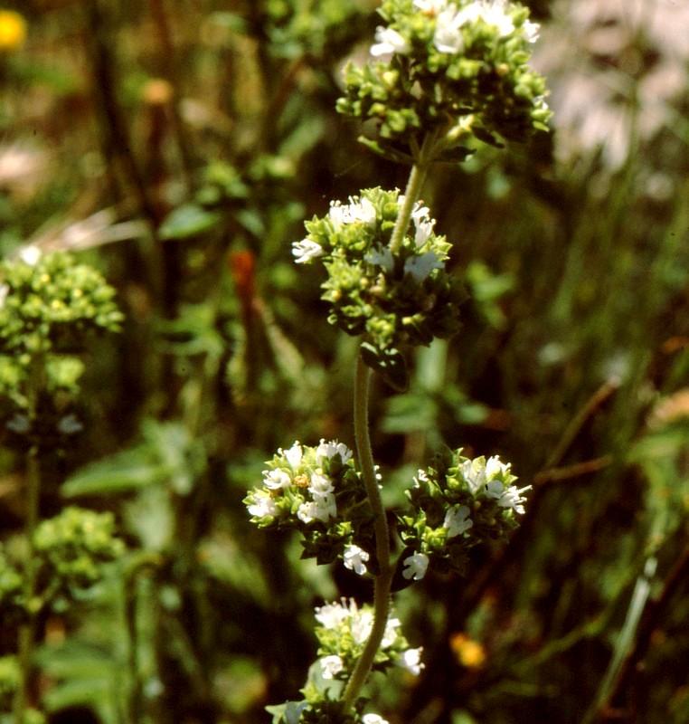 34-Origanum herakleoticum