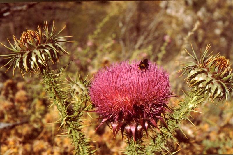 36-Onopordon bracteatum ssp creticum