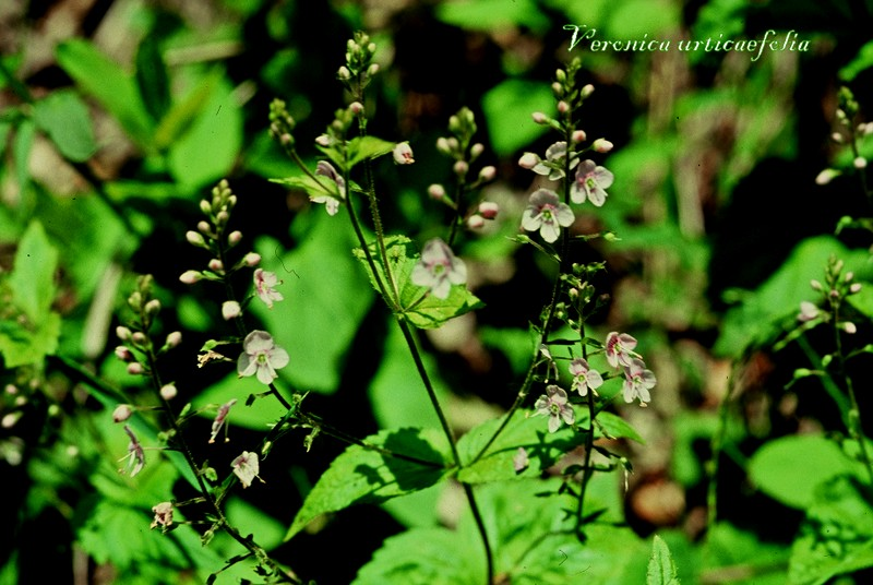 Veronica urticaefolia