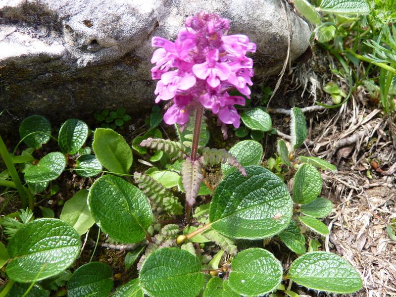 Pedicularis verticillata et feuilles de Salix reticulata