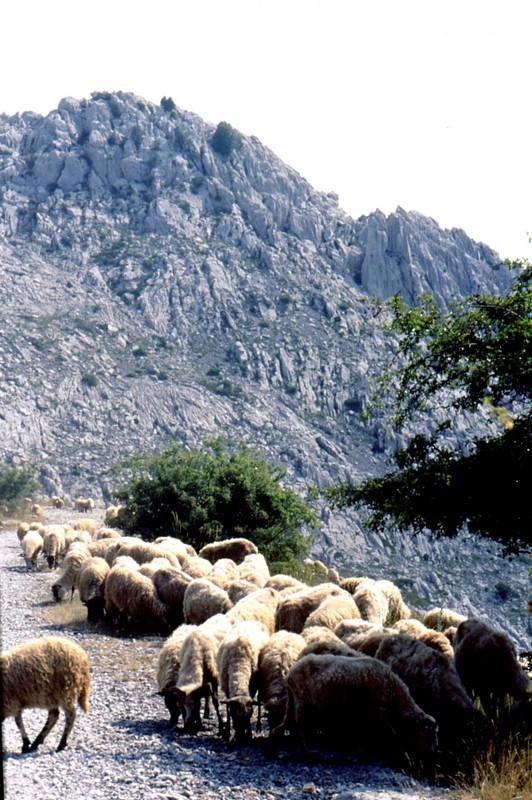 12- JU Moutons sur une piste de Paklenika