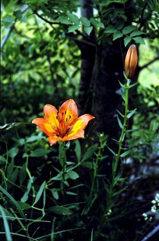 15-JU Lilium croceum bulbiferum