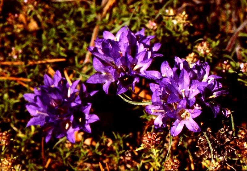 19- JU Edraianthus tenuifolius