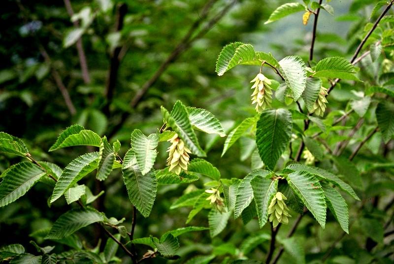 19-Ostrya carpinifolia