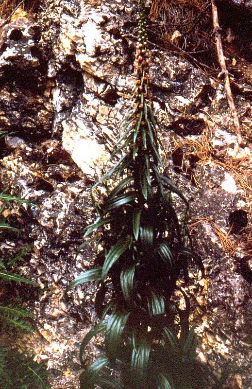 1990 221 JU Digitalis ferrugineus