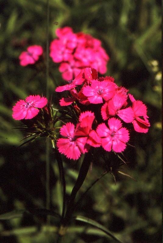 1990 233 JU Dianthus barbatus