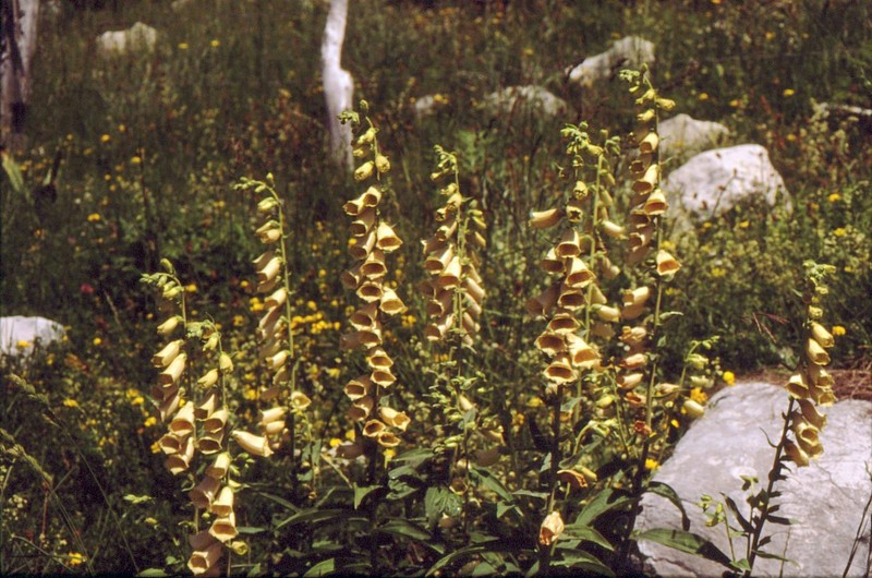 20- JU Digitalis grandiflora peut-être hybridée