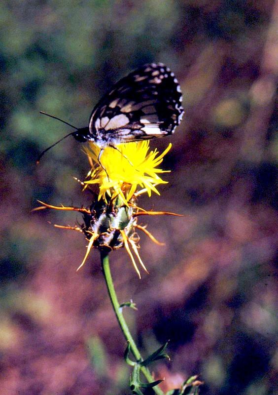 22-JU Centaurea solstitialis