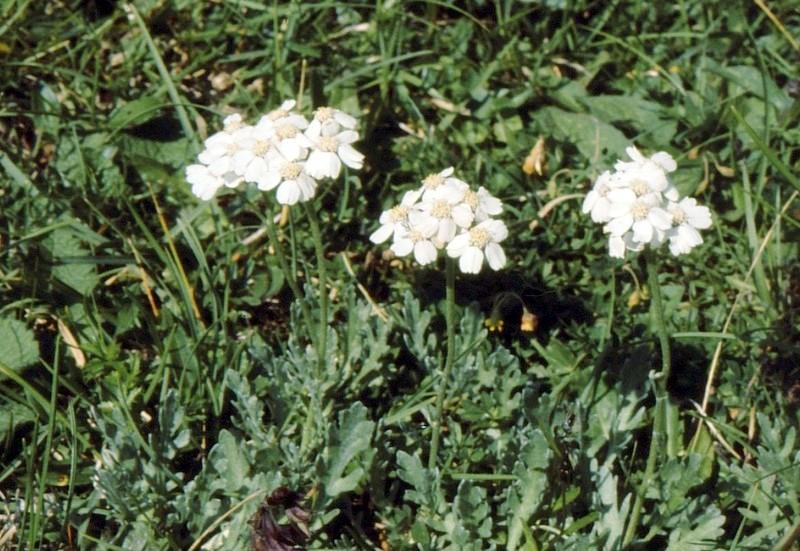 23-Achillea clavennae