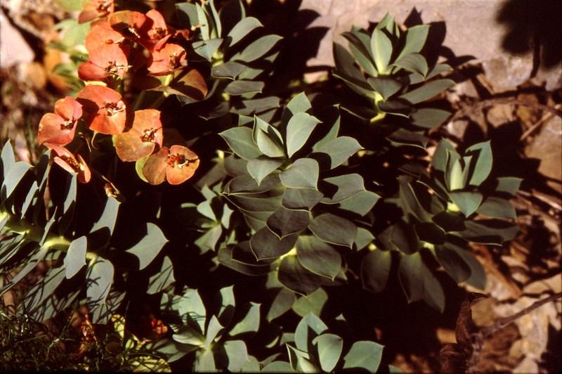 25- JU Euphorbia myrsinites