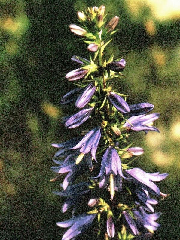 26-JU Campanula bononiensis